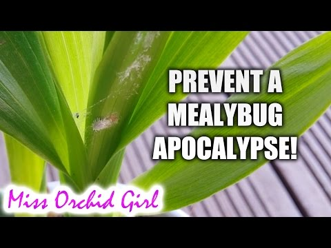How to prevent a mealybug infestation on your Orchids