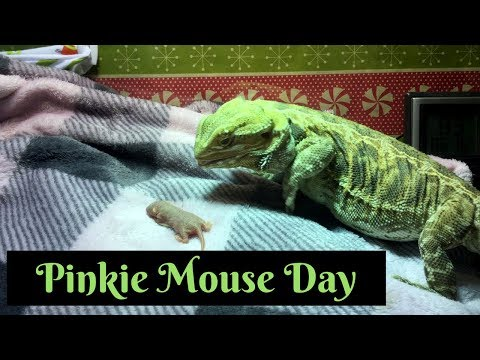 Bearded Dragon Owners // Pinkie Mouse Day....