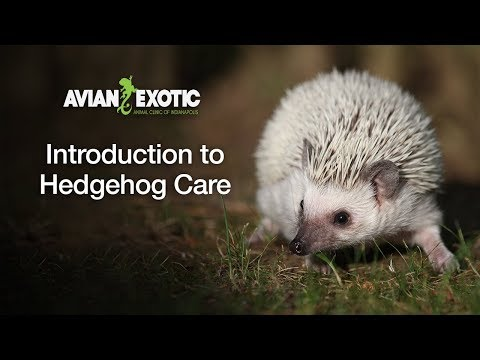 Introduction to Hedgehog Care
