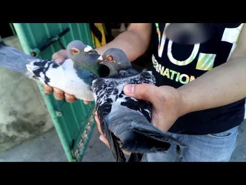 Xxx Mp4 Pigeon Pagsasanay Sa Paghagis Sa Malayo Ng Mga Kalapati Ko Pigeon Breeder TV 3gp Sex