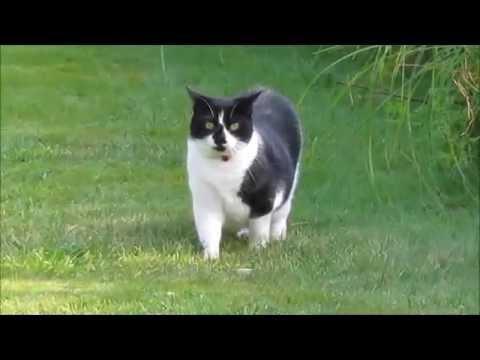 Black & White Elder Cat