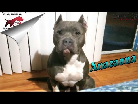 American Bully: Anacaona throwing a fit - Perfect Show Crop
