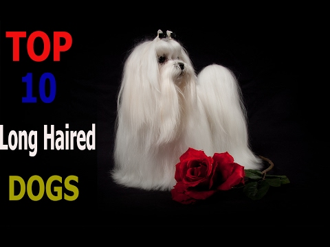 Top 10 long haired dog breeds | Top 10 animals