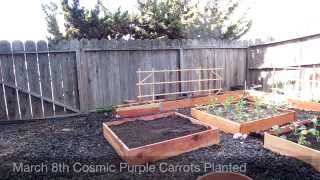 Cosmic Purple Carrots from seed to harvest