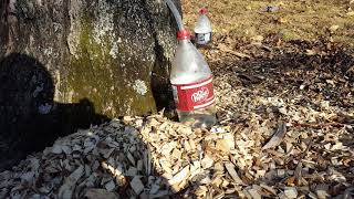 Maple sap Running fast