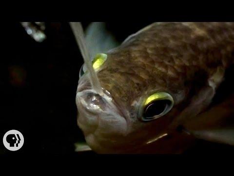Archerfish Says...