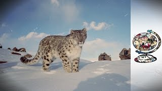 The Rarest Big Cat in the World