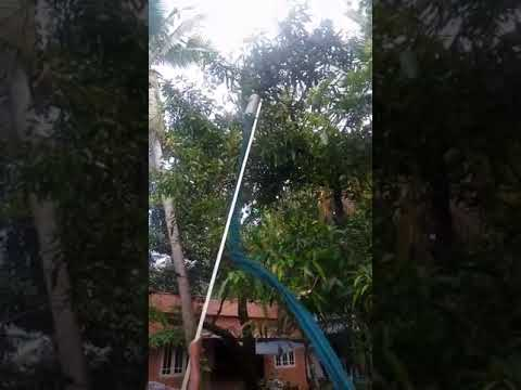 Mangoes cutting from mango tree