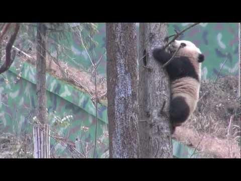 Wild-ready pandas, and making the wild ready for pandas
