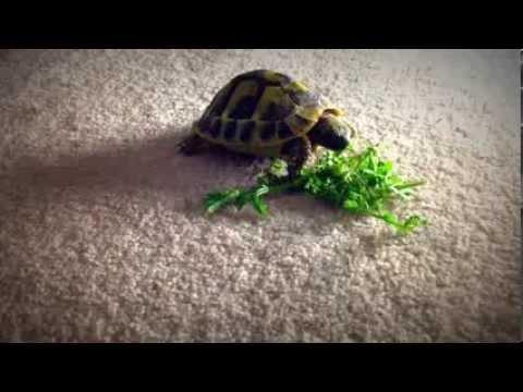 Adorable Baby Tortoise Eating