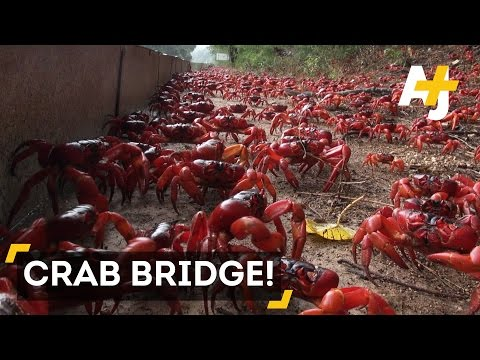 Millions Of Red Crabs Cover Christmas Island During Migration
