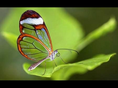 Facts About Glasswinged Butterflies