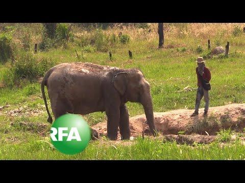 Rehabilitating Elephants in Cambodia | Radio Free Asia (RFA)