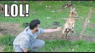 ATTACKED BY A GOAT!!