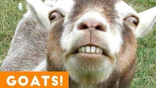 Cutest Goat Compilation 2018 | Funny Pet Videos