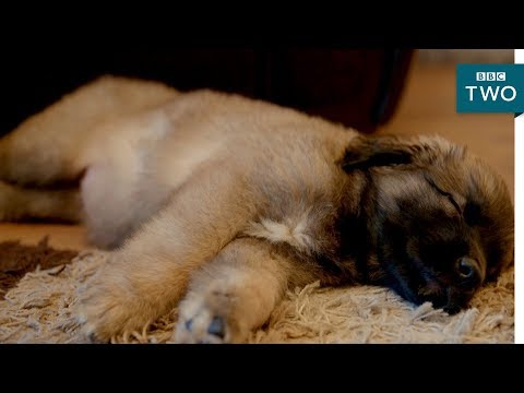 Puppy toilet training goes wrong - 10 Puppies and Us: Episode 3 Preview - BBC Two