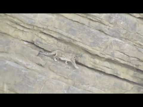Snow Leopard falls down from cliff: even the mighty can falter