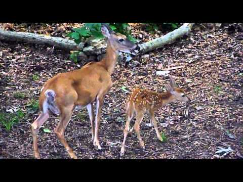 Doe brings her spotted fawns to dinner