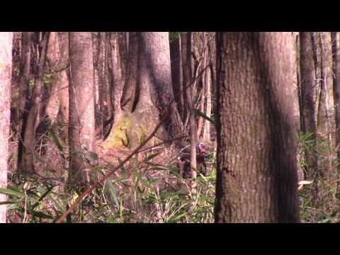 (Mississippi opening day turkey hunt) Gobbler down!