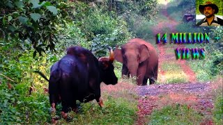 Download Elephant & Indian Bison in one Frame.