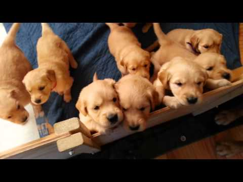 Beau/Carly Golden puppies In the whelping box