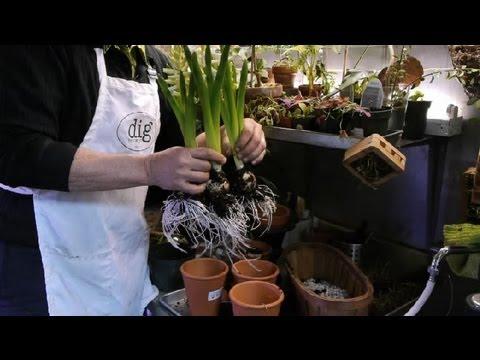 Separating Hyacinth Bulbs : Tulips, Daffodils & More
