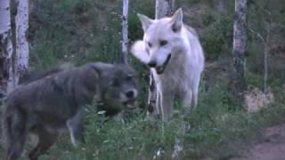 """""""Wolf Love"""""""
