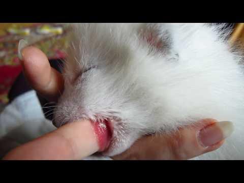 Arctic Fox kit using finger like pacifier!