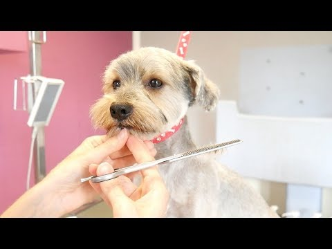 Grooming Guide - Grooming Yorkshire Terier Mix - short summer  cut #15