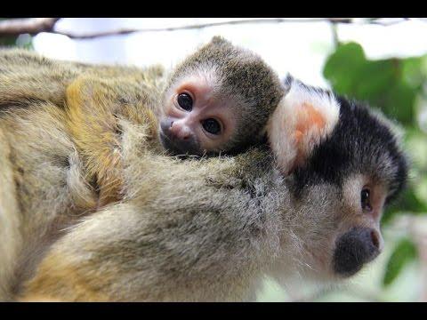 Keeper Cam captures tiny new Squirrel Monkeys at Taronga