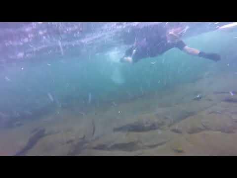 Dolf and Greg snorkel Puntledge Hatchery2 - more salmon