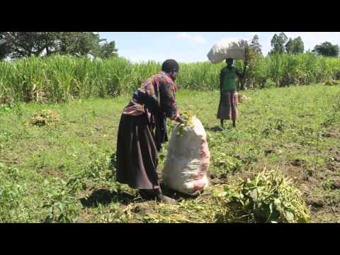 Bean Harvest in Kenya with One Acre Fund