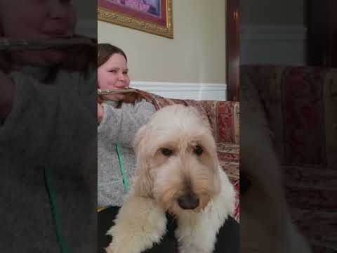 Goldendoodle Service Dog Singing Along When Family Member Plays the Flute