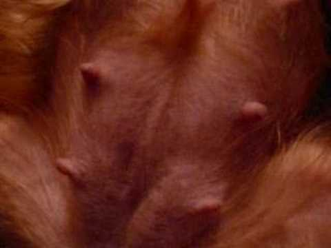 Pregnant Yorkshire Terrier Belly - Dog Training
