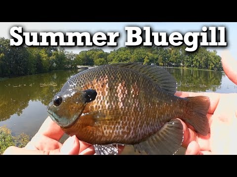 Summer Bluegill Fishing With Artificial Baits - $20 Combo Panfish