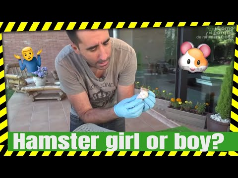 HAMSTERS - How to tell when a hamster is male or female