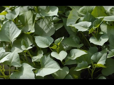 How to grow sweet potato shoots (红薯苗和红薯杆)