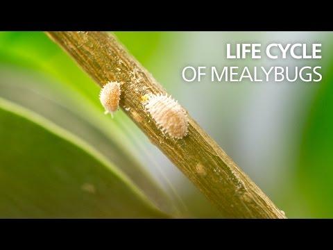 Life cycle of mealybugs