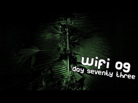 Day 73 WiFi OG - four phenotypes