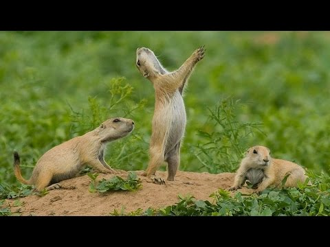 Montana Prairie Dogs Are About To Be Vaccinated In Bulk By Drones