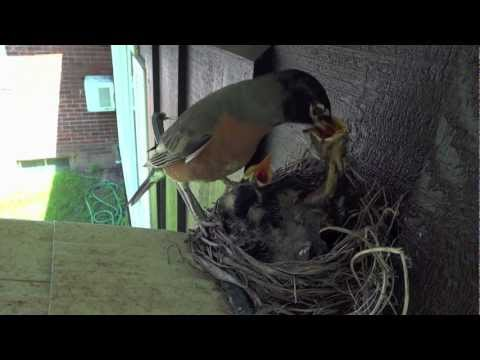 RED-BREASTED ROBINS — Feeding the baby birds ...and the Scoop on Poop!