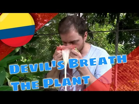 Explaining Devil's Breath (Scopolamine) from Angel's Trumpets (Brugmansia)