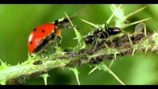 simbiosi afidi-formiche.avi