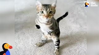 Cat With Short Front Legs Never Lets That Hold Him Back | The Dodo