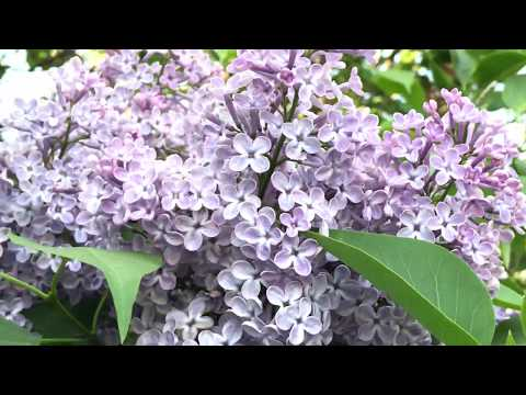 Relaxing Nature - Lilac Tree - Airplane ✈️ Flies In The Sky - Learn Colors - Family Vlog