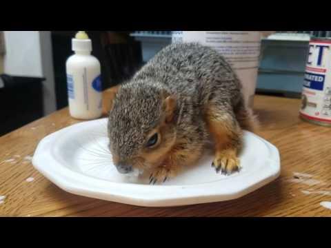 BABY SQUIRREL! Feeding time