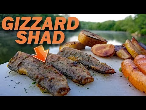 Catch and Cook Shad - EATING CATFISH BAIT!