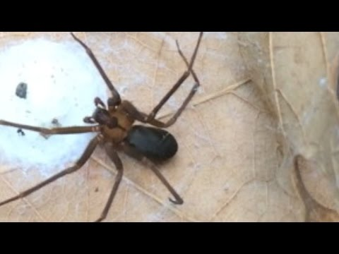 How to ID a Brown Recluse Spider - identify a fiddleback or violin arachnid!