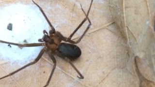 Download How to ID a Brown Recluse Spider - identify a fiddleback or violin arachnid! Video