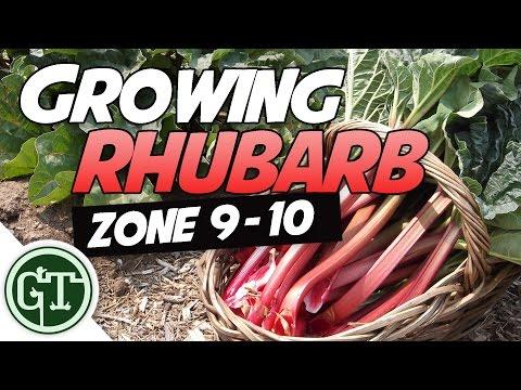 Growing Rhubarb in Hot Climates - Zone 9/10   Organic Garden Methods